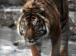 Animals - Tiger 9