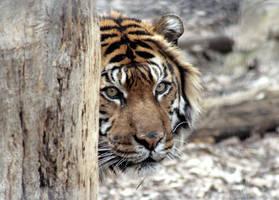 Animals - Tiger 10 by MoonsongStock