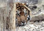 Animals - Tiger 10