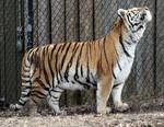 Animals - Tiger 11