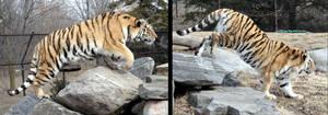 Animals - Tiger 13 by MoonsongStock