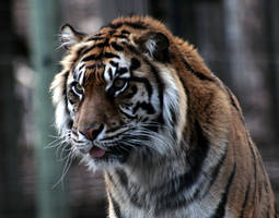 Animals - Tiger 14 by MoonsongStock