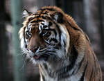 Animals - Tiger 14