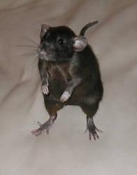 Animals - Rat 4