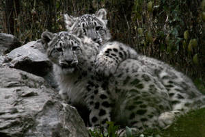 Animals - Snow Leopard 3 by MoonsongStock