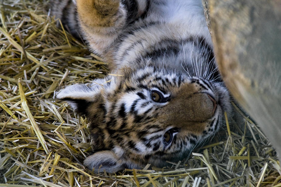 Animals - Tiger 24 by MoonsongStock