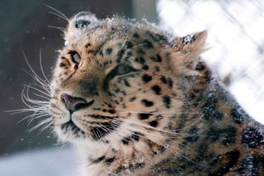 Animals - Amur Leopard 1 by MoonsongStock