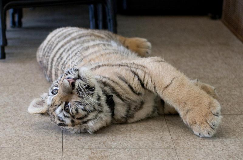 Animals - Tiger 25 by MoonsongStock