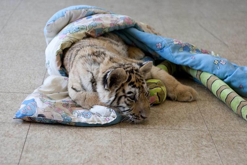 Animals - Tiger 27 by MoonsongStock