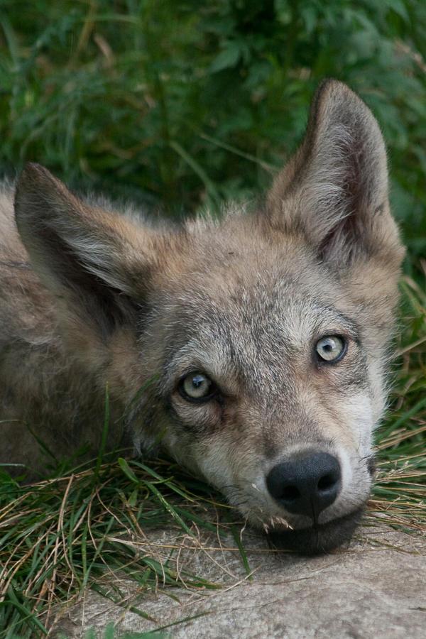 Animals - Grey Wolf 14 by MoonsongStock