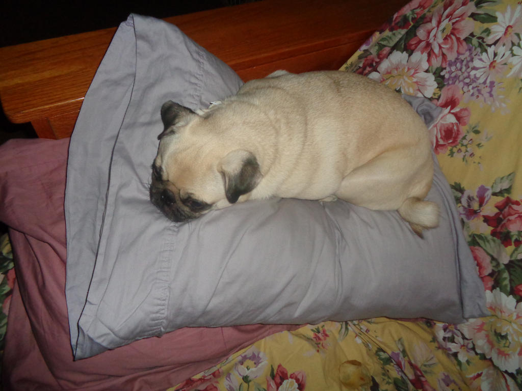 pillow pug by tabby25