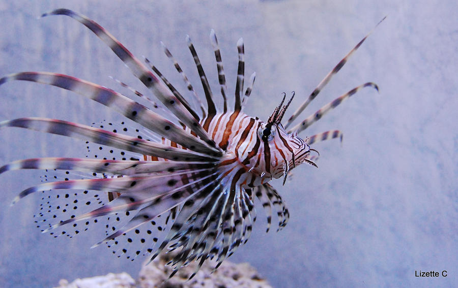 Lion fish by ladyeowyn1