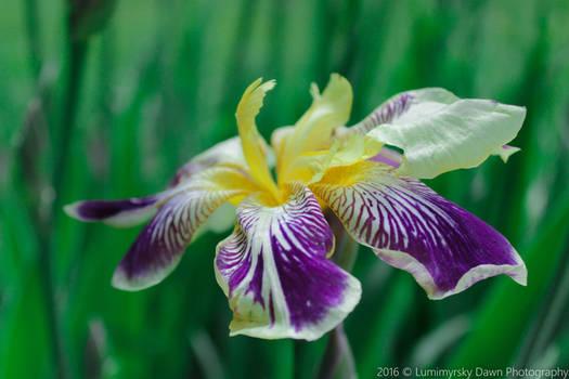 Lonesome Iris