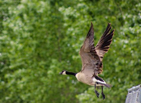Canadian Goose II