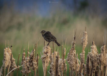 Female Redwinged Blackbird II