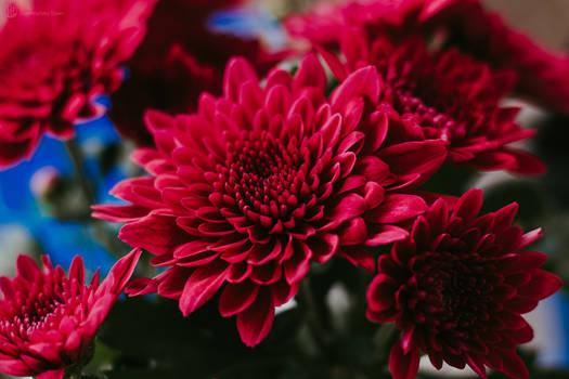 Dark Chrysanthemum