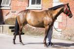 Horse Standing Stock