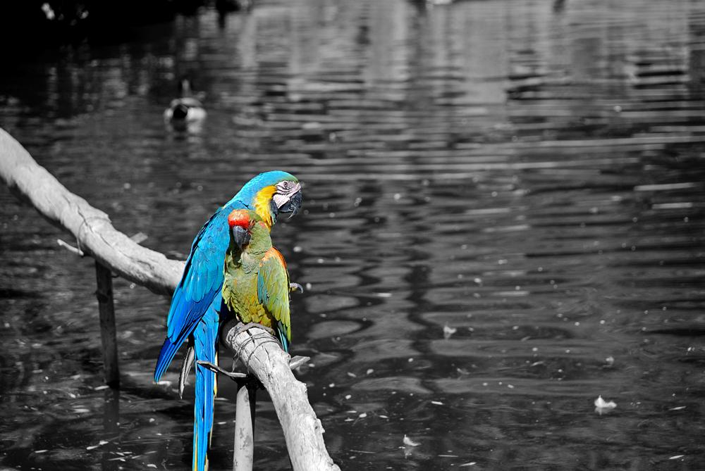 Selective Parrots by SaldaeanFarmgirl