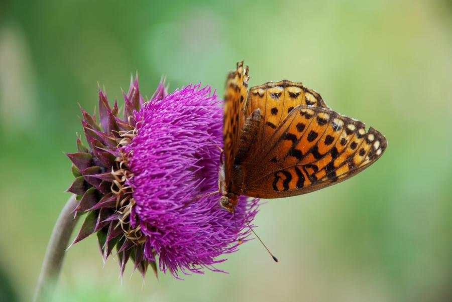 Butterfly 003 by SaldaeanFarmgirl
