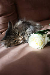 Cat's rose by AmayaHoshi