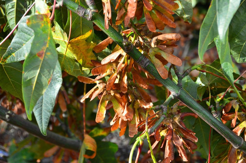 Maple Seeds by SkyfireDragon