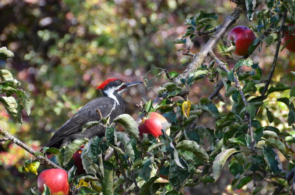 Pileated woodpecker-22SEP2015-13 by SkyfireDragon