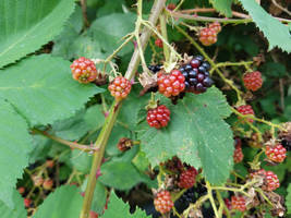 Blackberries-11Aug2019-S01