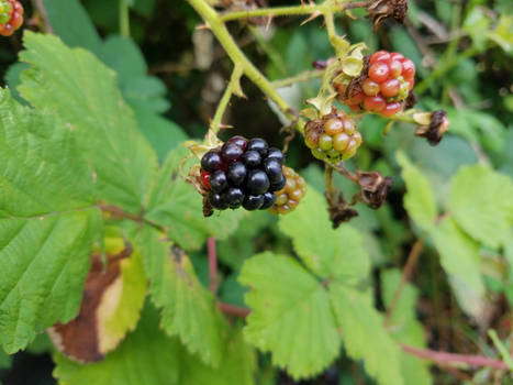 Blackberries-11Aug2019-S02