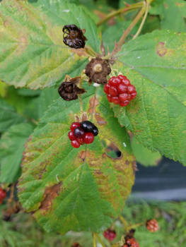 Blackberries-11Aug2019-S03