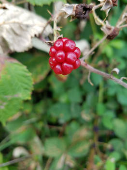 Blackberries-11Aug2019-S04