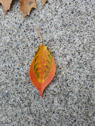Painted Leaf