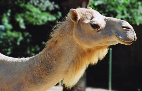 This Camel Doesn't Weep