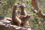 Meerkats I