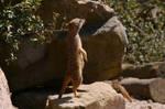 Meerkats II