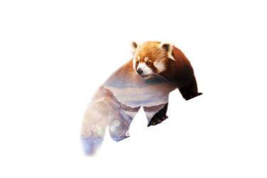 Wild animals : Red Panda by Loweak