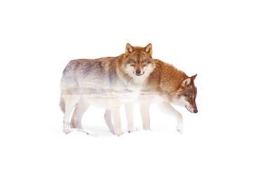 Wild animals : Wolf by Loweak