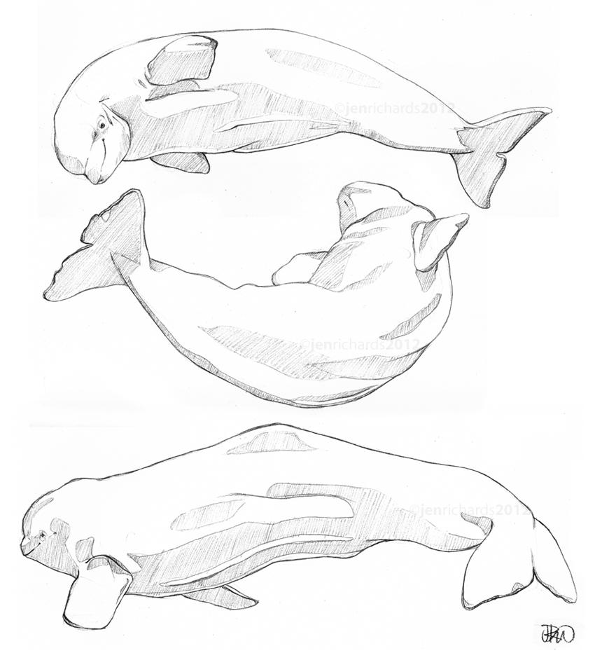 Beluga sketches