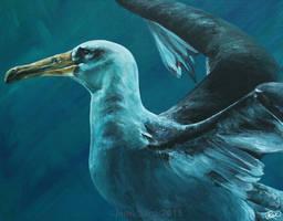 Makana - Laysan Albatross by odontocete
