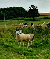 What Are Ewe Looking At?