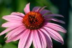 Purple Flower Power by BarretWitten