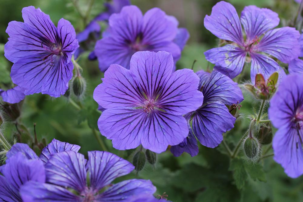 Purple Stars by Aderes-Devorah