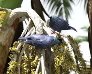White-crowned Pigeons