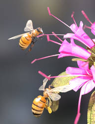 European Dark Honeybees