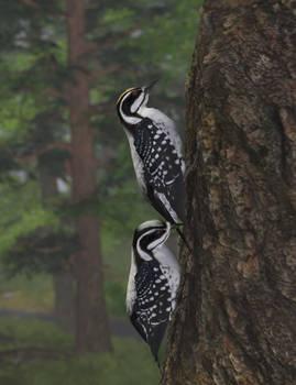 Three-toed Woodpeckers