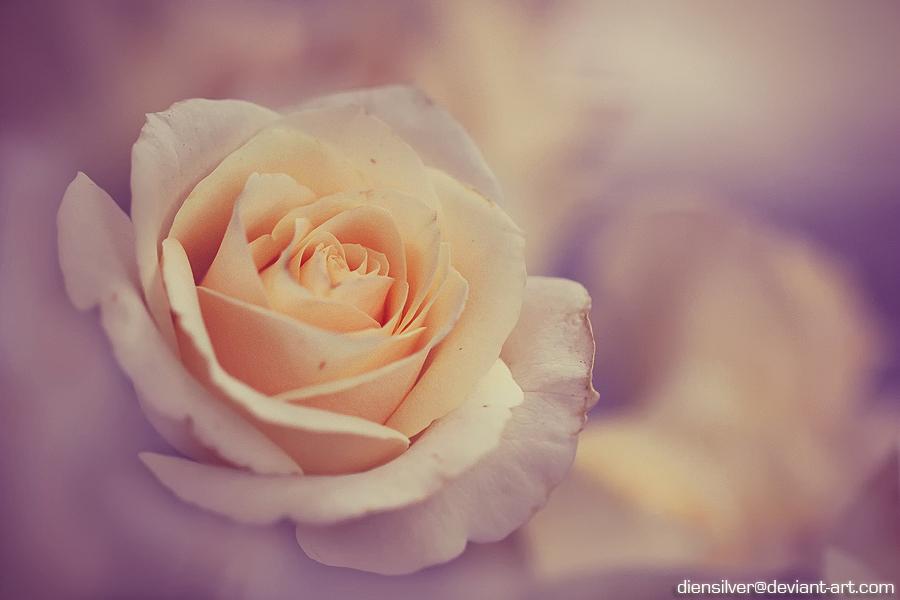 Broken rose by diensilver