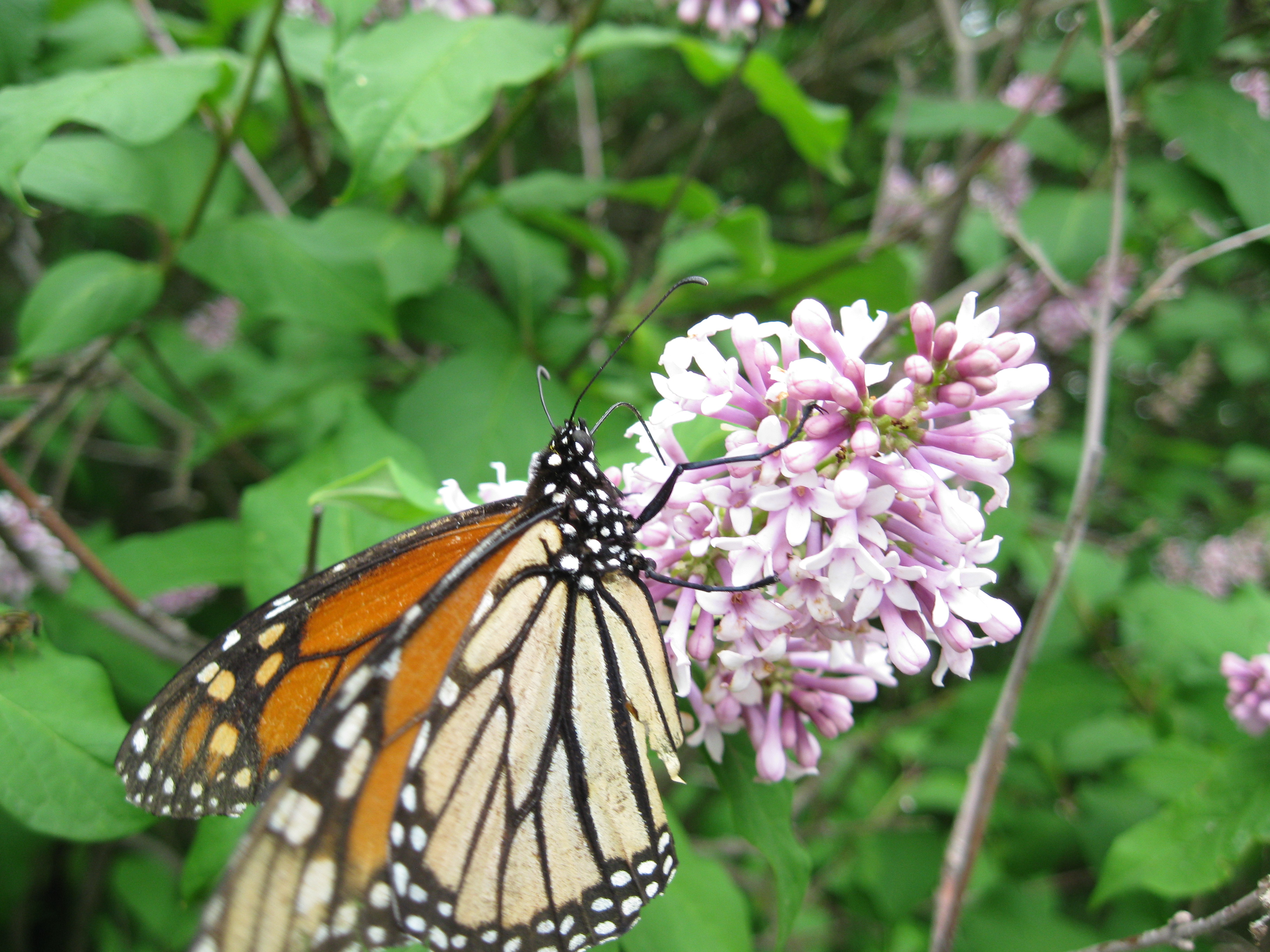Monarch butterfly on lilacs by melonfly on deviantart for Lilac butterfly wallpaper