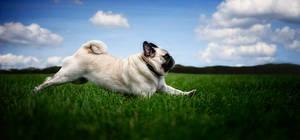 flying pug...