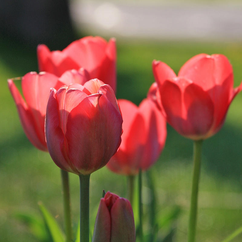 Red tulips II by CecilyAndreuArtwork