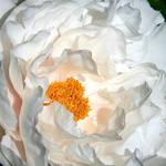 White Peony by CecilyAndreuArtwork
