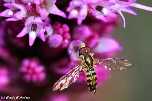 Glistening Flower Fly by CecilyAndreuArtwork